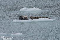 Tidewater Glacier, Glacier Bay, Harbor Seal