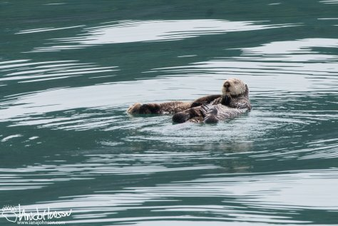 Sea Otter, Glacier Bay National Park