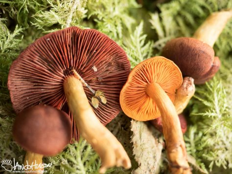 Cortinarius, Dermocybe, Dye, Red, Orange