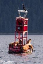 Stellar's Sealion, Hoonah, Alaska