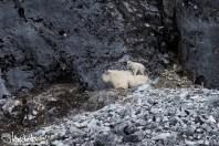 Mountain Goat, Glacier Bay National Park, Alaska