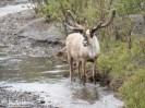 Caribou, Denali National Park, Alaska