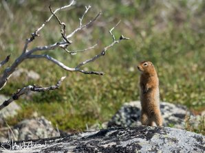 Arctic Ground Squirrel, Dalton Highway, Alaska
