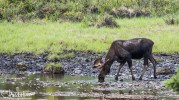 Moose, Denali Highway, Alaska