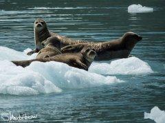 Harbor Seal, Seward, Alaska