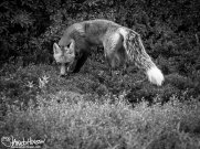 Red Fox, Dalton Highway, Alaska