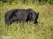 Black Bear, TransAm Highway, Canada