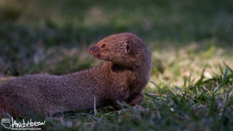 Mongoose, Hawaii