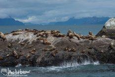 Stellar Sea Lion, Glacier Bay National Park, Southeast Alaska, Alaska