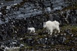 Gloomy Knob, Mountain Goat,Glacier Bay National Park, Southeast Alaska, Alaska