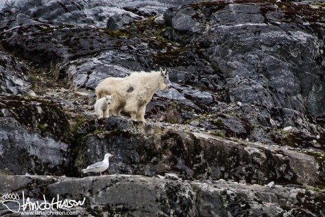 Gloomy Knob, Mountain Goat, Glacier Bay National Park, Southeast Alaska, Alaska