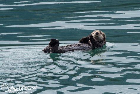 Sea Otter, Glacier Bay National Park, Southeast Alaska, Alaska