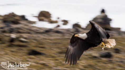 Bald eagle, photography, alaska, herring, panning