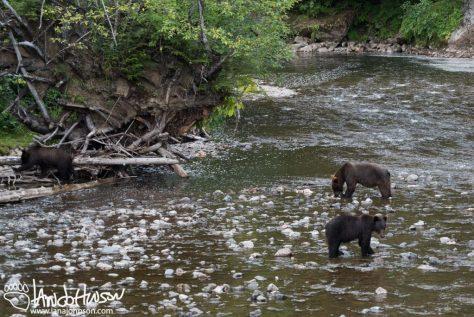 Bear, Coastal Brown Bear, Hoonah, Alaska, Game Creek
