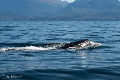 Marine Mammal Entanglement, Humpback Whale, Alaska