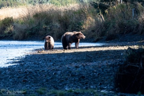 Coastal Brown Bear, Spasski, Spasski River, Icy Strait Point
