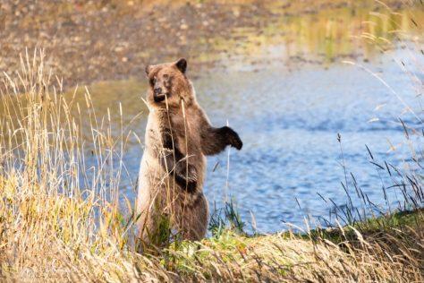 Coastal Brown Bear, Spasski, Spasski River, Icy Strait Point