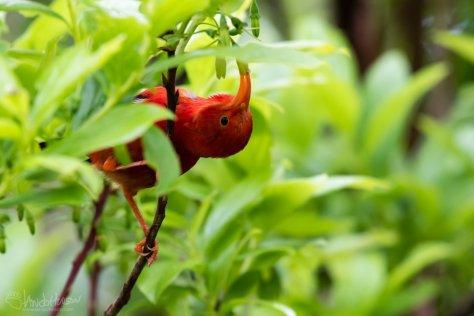 I'Iwe, Hakalau Forest, Flower, Hawaii, Big Island