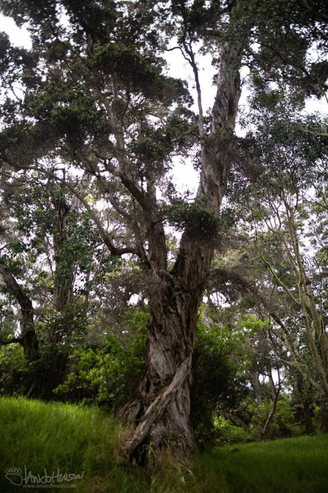 Old Growth, Ohia, Hakalau Forest