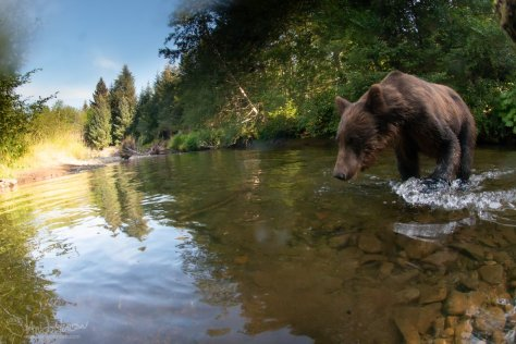 Brown Bear, Camera Trap, Alaska