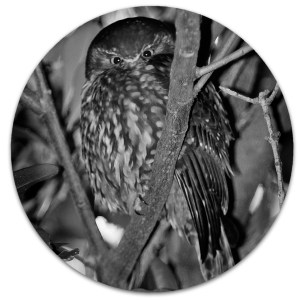 Morepork photo art.