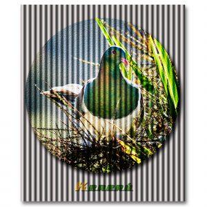 Kereru Wood Pigeon, photography by Ian Anderson.
