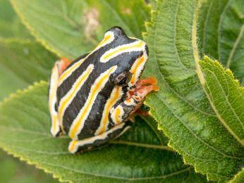 Hyperolius marmoratus, Marbled Reed Frog