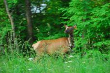 june-19-deer-on-the-blue-ridge-parkway