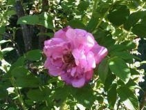 september-14-the-last-rose