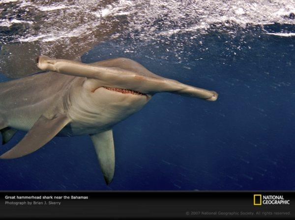 Гигантская акуламолот лат Sphyrna mokarran