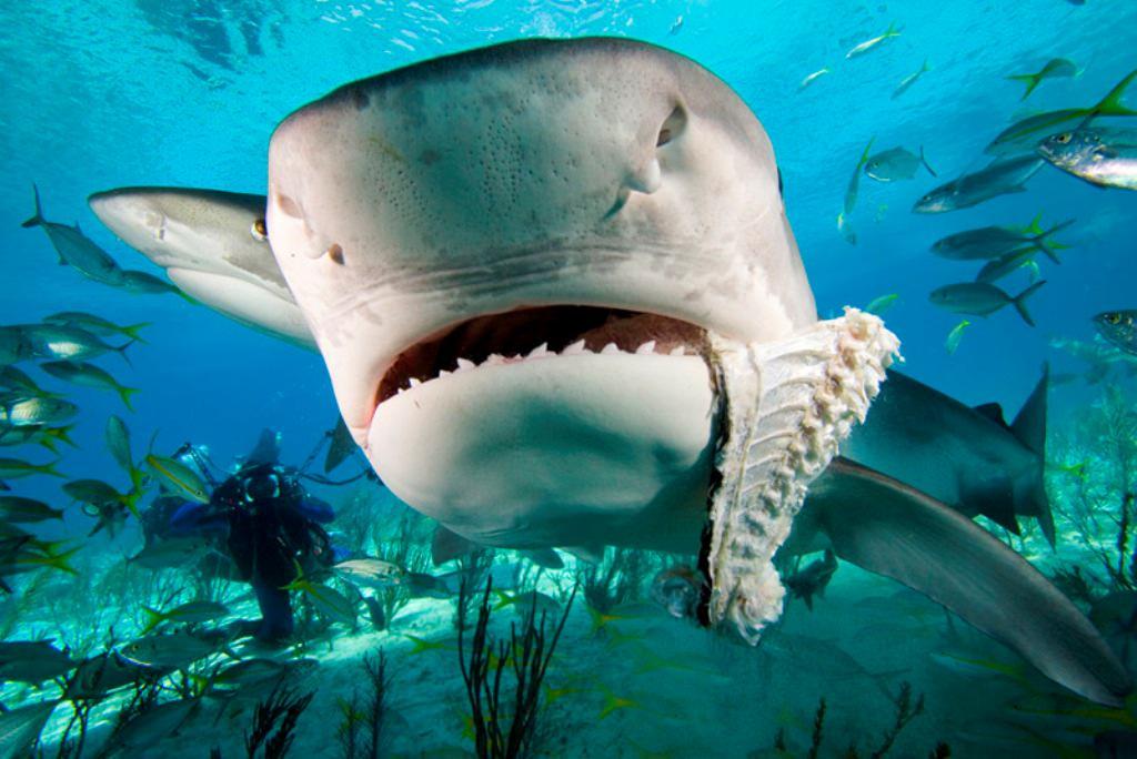 ryklių patinai neturi varpos