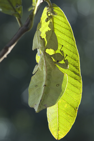 Leaf Insect on GuavaLeaf