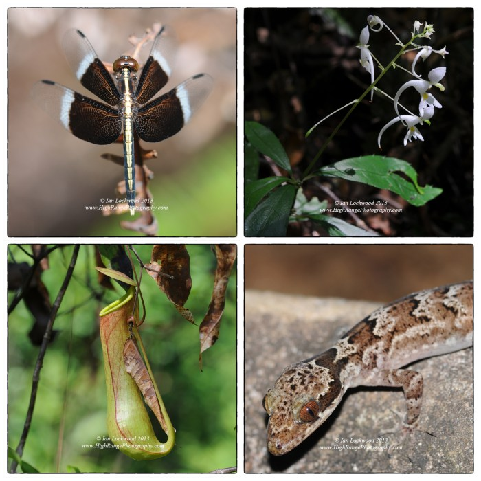 Biodiversity in Sinharaja (clockwise from upper left): Odonata sp,, Imatiens sp. , Cyrodactylus subsolanus and Nepenthes sp.
