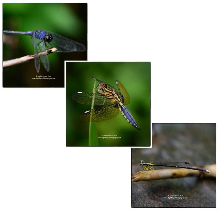 Odonata at Sairang just north of Aizawl.