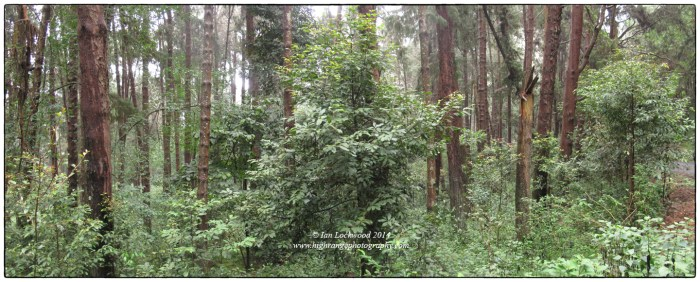 Pine (Pinus sp.) plantation started in the early 1970s near Poombari village in the north-western Palani Hills with advanced natural regeneration of shola species. A key aspect of this is the presence of a nearby
