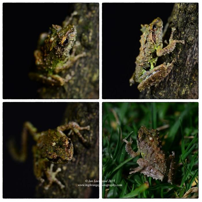 Study of an endemic  shrub frog () found in the Maha Eliya dormitory toilet.