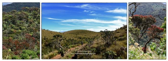 New flush of Calophyllum walkeri flanking the World's End trail.