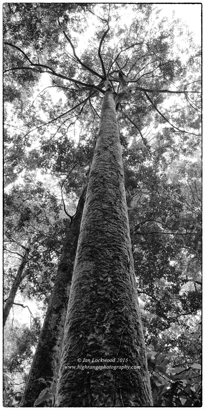Towering rainforest tree with mossy bark @ 1,400 meters in the Anamalai Hills.