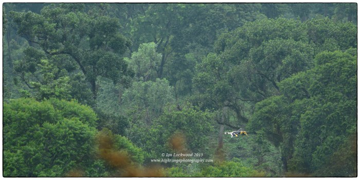 Great Pied Hornbill (Buceros bicornis) in flight just outside of Valparai in the mixed plantation/forest near the NCF nursery.