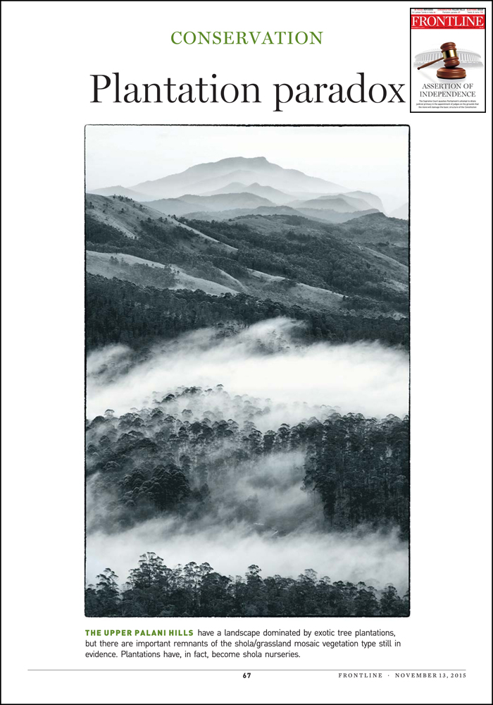Opening image in Frontline article. Th image shows winter mist in eucalyptus plantations below Perumal Peak with remnant montane grasslands.