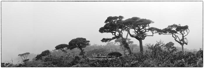 Calophyllum walkeri sentinels in a path of dieback cloud forest near the Ohiya entrance to Horton Plains National Park.