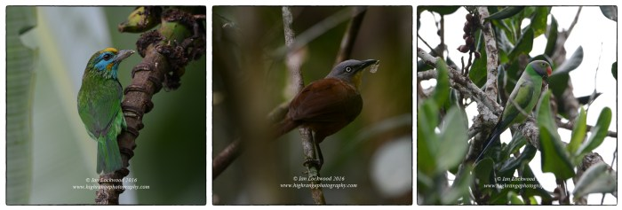 Sri Lankan endemic bird species from Sinharaja, taken in a similar habitat to the SVNP birds above. From left to right: Yellow Fronted Barbet (Psilopogon flavifrons) Ashy Headed Laughing Thrush (Garrulax cinereifrons) and Layrd's Parakeet (Psittacula calthrapae).