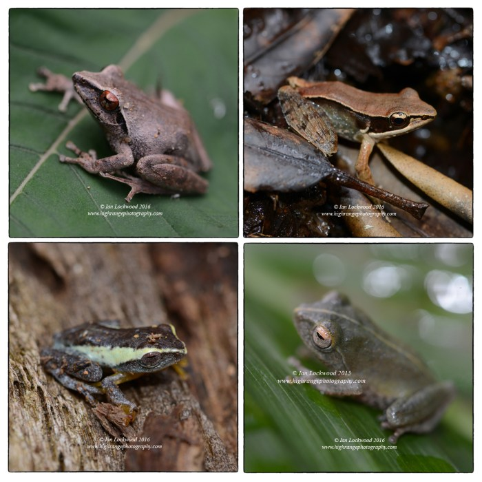 Frogs in montane forest on the trial to Sri Pada.
