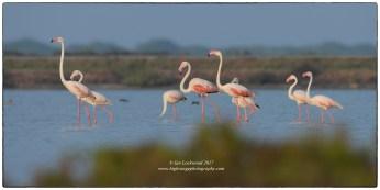 Greater flamingos at Vankalai Bird Sanctuary.