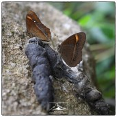 Butterflies on scat at Pampadum.