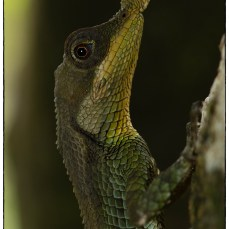 Male Leaf Nosed Lizard (Ceratophora tennentii) endemic to the Knuckles range, photographed at Riverston. (October 2018)