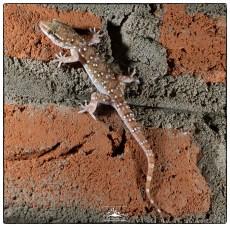 Termite Hills Gecko (Hemidactylus triedrus lankae at Backwaters.)
