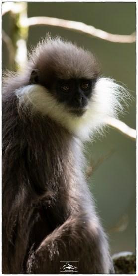 "Portrait of a Purple Faced Langur (montane species) or ""Bear Monkey""s (Semnopithecus vetulus monticola) in Hakgala."