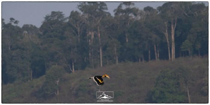 Buceros_bicornis_in_flight_Valparai_1a(MR)(04_19)