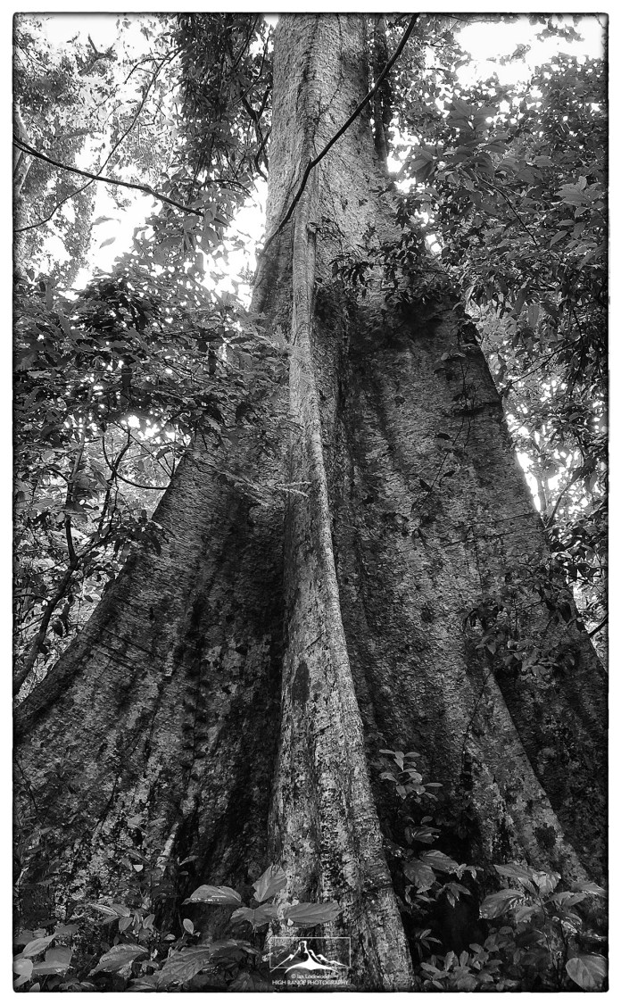 Buttress of a large tropical rainforest species in the primary forests of Thattekad.